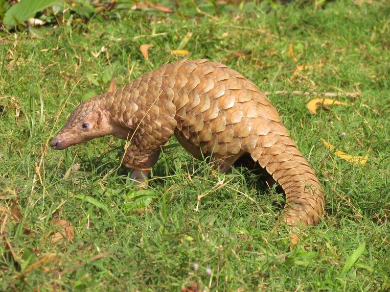 Schubdieren, ook gekend als termieteneters, behoren tot de meest bedreigde diersoorten ter wereld. Beeld Shutterstock