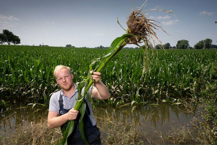Joris van Zeelst, zoon van Bert van Zeelst, laat de verdronken mais zien op het buitendijkse akker bij Bokhoven.