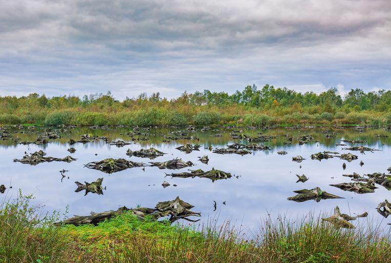 Natte veengrond in national park de Groote Peel. Onze veengebieden slaan twee keer zo veel koolstof op als alle bossen in de wereld bij elkaar. Beeld Getty Images