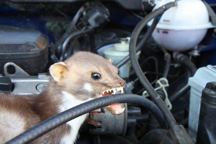 De steenmarter knaagt graag aan slangen onder de motorkap omdat er vaak visolie in verwerkt is.