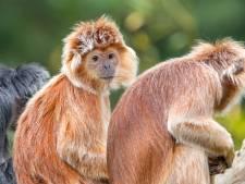 Noodlijdende Apenheul vraagt publiek om geld voor bouw nieuw apenverblijf