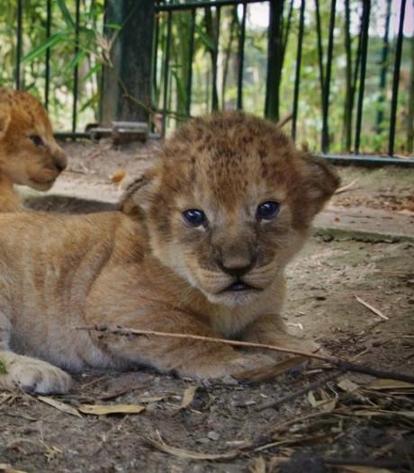VIDEO: Drieling leeuwenwelpjes geboren in Safaripark Beekse Bergen