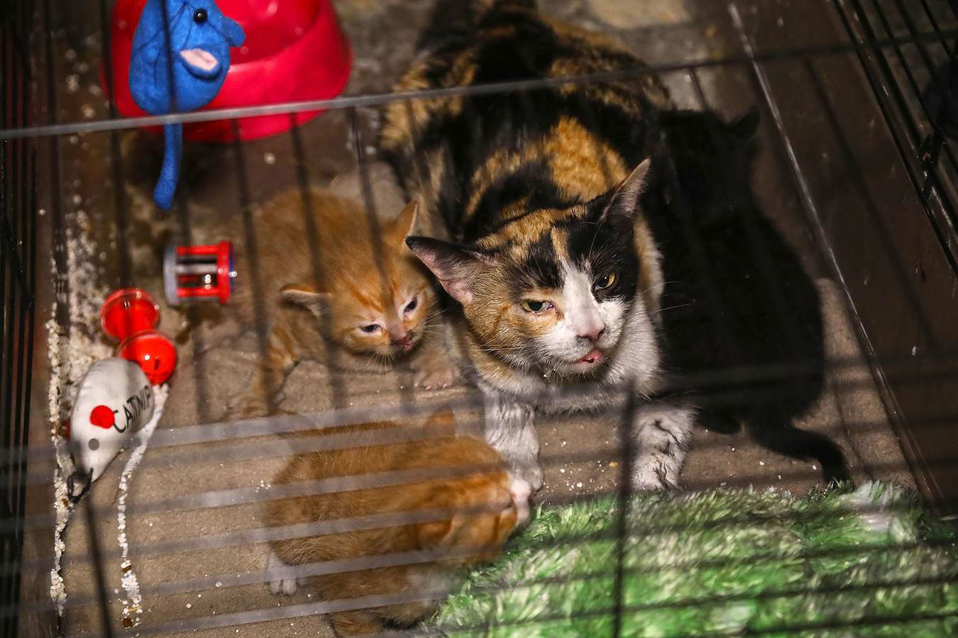 De moederpoes met haar kittens na de brand in Berghem.