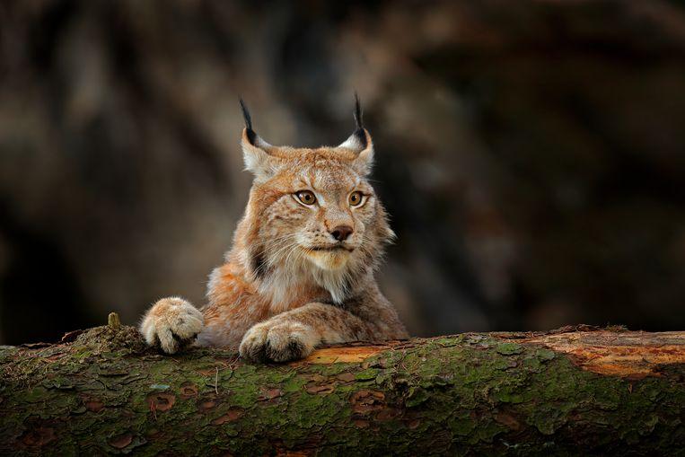 Het is een kwestie van tijd voordat de lynx vanuit Duitsland de grens met België oversteekt, zegt Jan Loos.