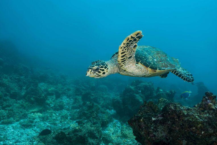 Een zeeschildpad.  Beeld photo_news