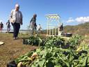 De Onkruidenier kweekte strandbiet op naast de suikerbieten van een Noordwelse boer