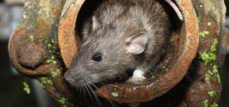 Rattenrondleiding