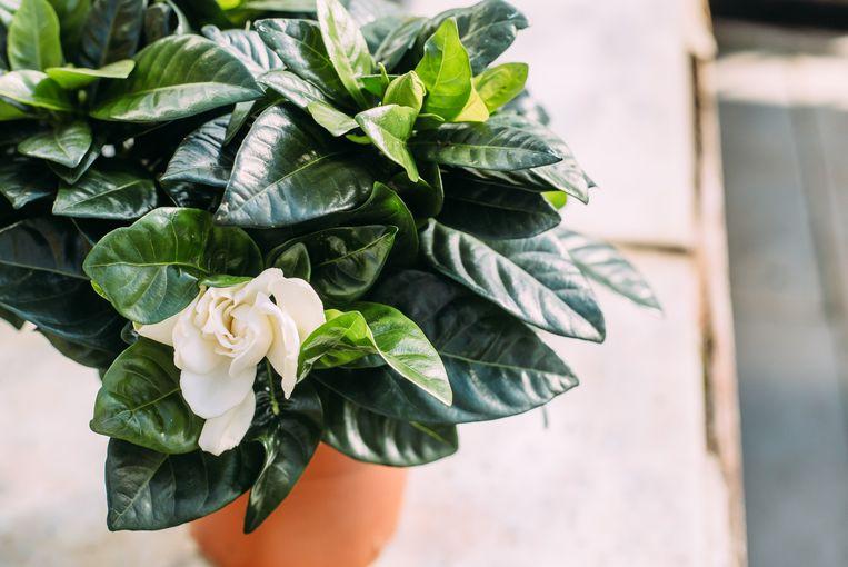 Gardenia Beeld Getty Images