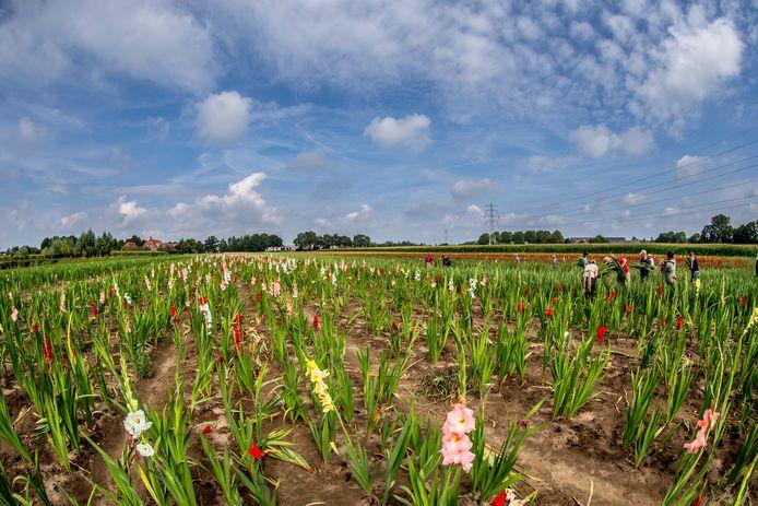 Bloemenplukkers aan het werk in een akker met gladiolen
