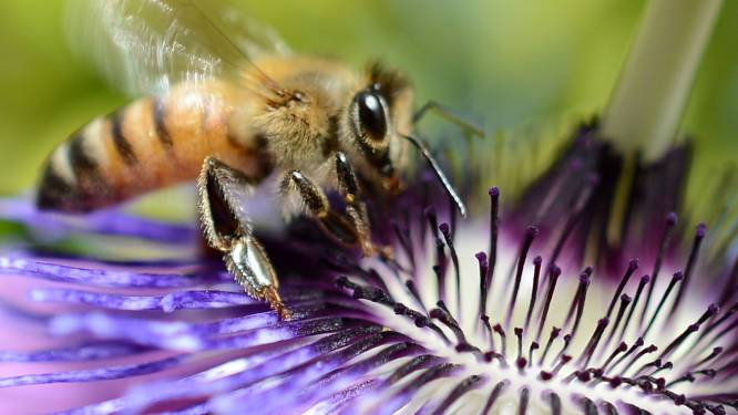 """""""Bijensterfte maakt snoep en ontbijtgranen duurder"""""""