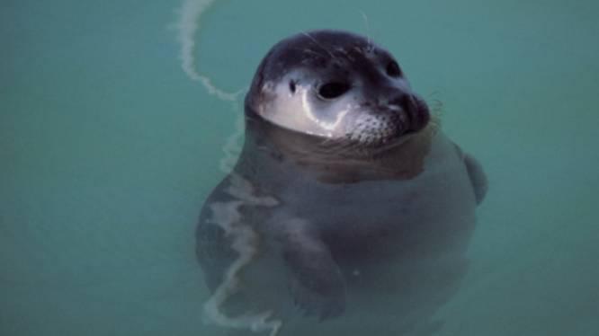 Sea Life bevrijdt laatste twee zeehonden