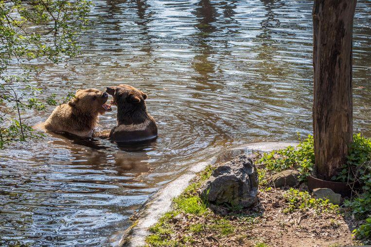 De beren Duuk (lichtbruin) en Igor in het Berenbos in Ouwehands Dierenpark. Beeld Werry Crone