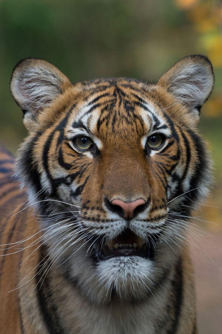 Nadia, de vierjarige Maleise tijger uit de Bronx Zoo, die positief getest heeft voor het coronavirus op een archiefbeeld. Beeld VIA REUTERS