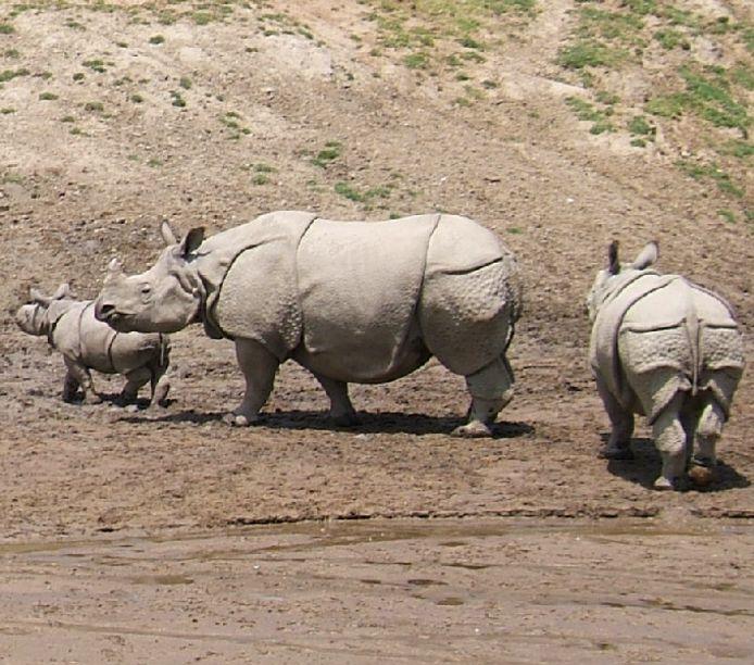 De Indische neushoorn is binnenkort te bewonderen in Dierenrijk