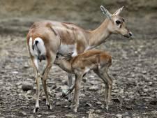 Dierentuin voedert zeldzame antilope aan roofdieren