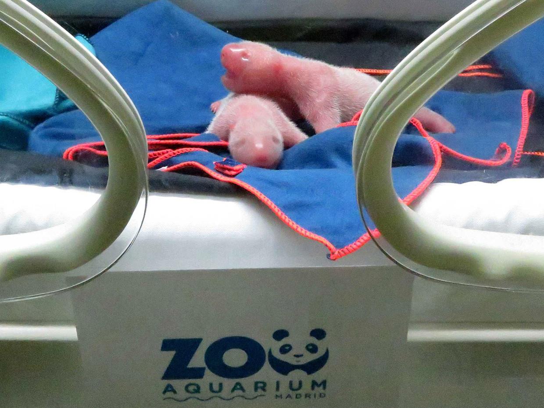 De twee pasgeboren pandaatjes dinsdag in een couveuse in Madrid. Beeld AFP