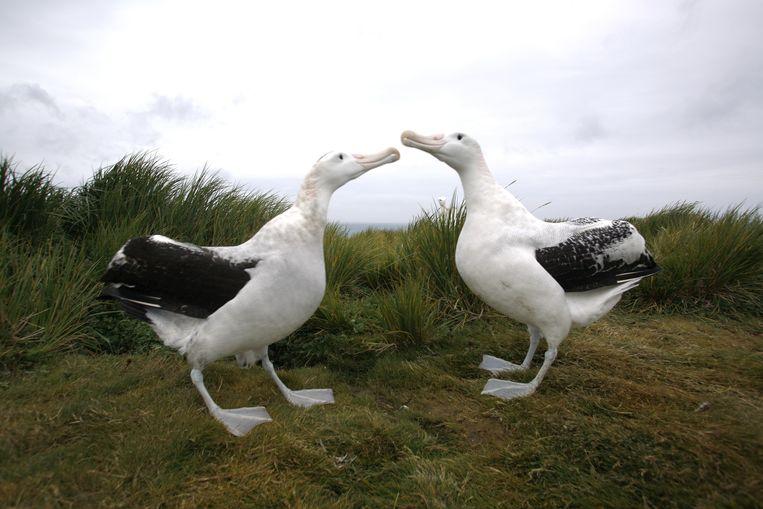 Volwassen albatrosvogels. Beeld Belga