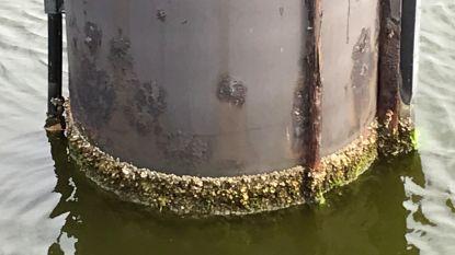 """Er groeien mosselen in Brugge: """"Verzilting zet zich landinwaarts door"""""""