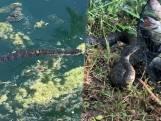 Zwemmende slang probeert visvangst te stelen