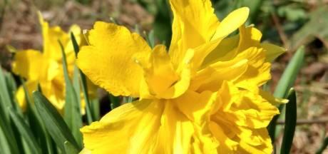 Narcis 'Rip van Winkle', wie weet nog naar wie die vernoemd is?