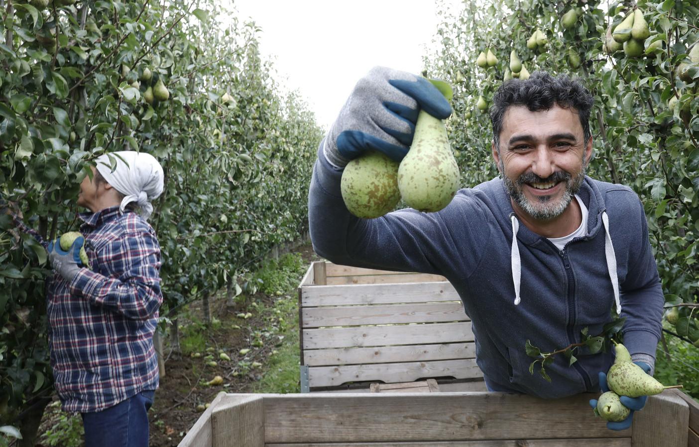 Foto ter illustratie: Een drietal Syrische asielzoekers steekt maandag de handen uit de mouwen bij Fruitbedrijf De Woerdt in Ressen.