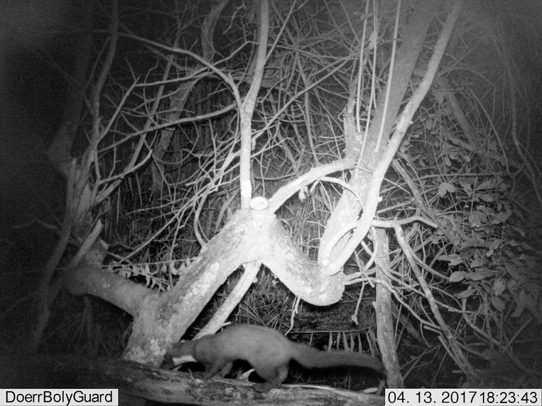 Een boommarter vastgelegd op nachtcamera. Beeld Geert Timmermans