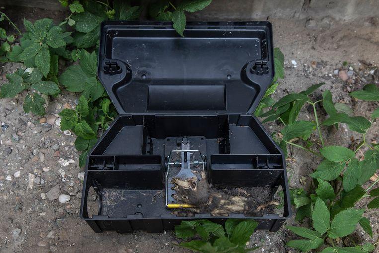 Een rat in staat van ontbinding in een van de klemboxen. Beeld Dingena Mol
