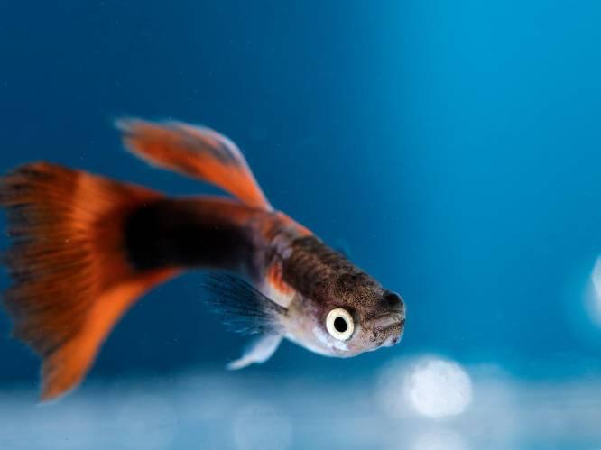 Na de fiets, iedereen een aquarium: levertijd tot 3 maanden voor rustgevend visaquarium in leef- of thuiswerkplek