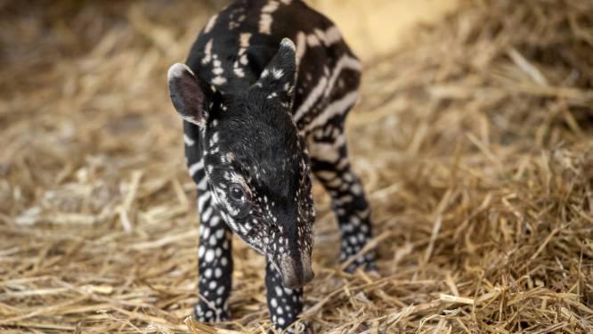 Tapirbaby geboren in Antwerpse Zoo