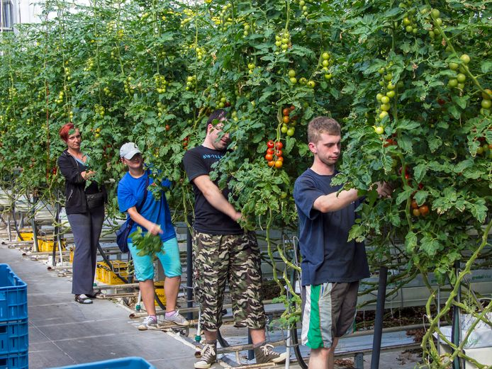 Archieffoto: Poolse seizoenskrachten aan het werk bij tomatenkweker Lans in Rilland.