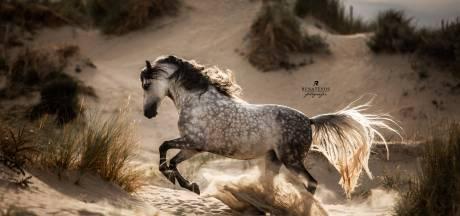 Renate Vos werd verliefd op pittige Arabier Maradona, daarna is de paardengekte gebleven