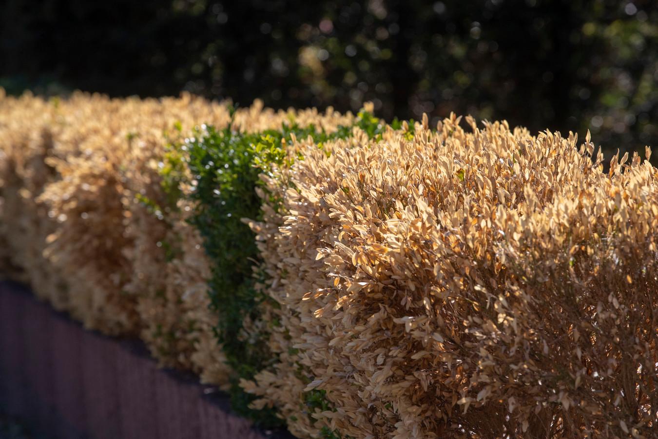 Als de buxusmot toeslaat, worden fraaie groene heggetjes snel kaalgevreten struiken.