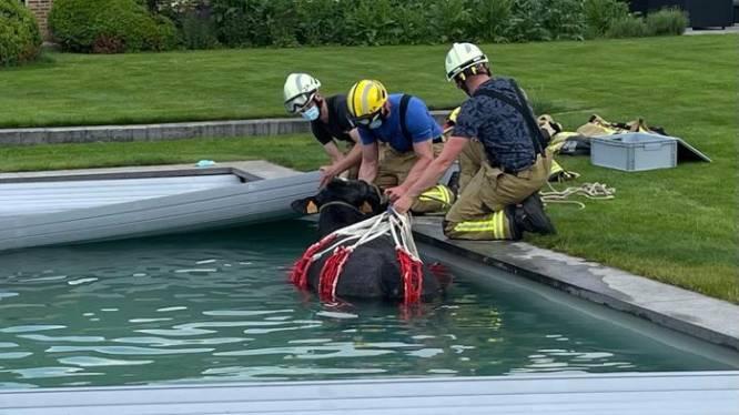 Koe ontsnapt uit weide en belandt in zwembad
