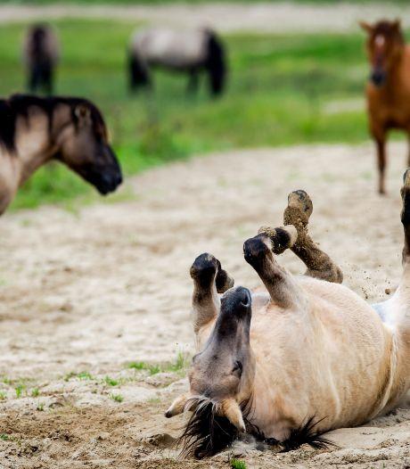Zijn de zorgen over de konikpaarden in de Oostvaardersplassen terecht?