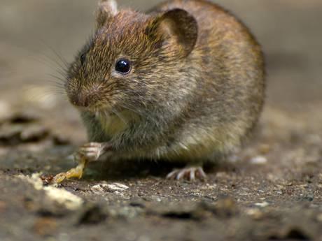 Mysterie! Honderden veldmuizen storten zich in tunnelbak Fries aquaduct