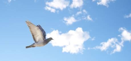 Man schiet achterbuurvrouw in nek, wilde schijtende duif raken