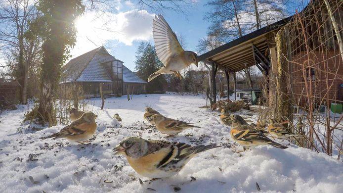 Een groep kepen in de tuin van natuurfotograaf Ruurd Jelle van der Leij.