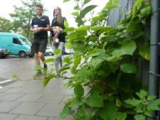 Bestrijding Japanse horrorplant in Groene Hart kost tonnen: plant kan zelfs muren ontwrichten