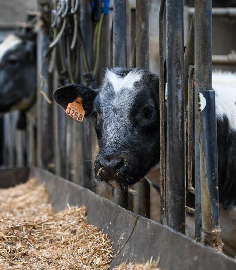 'Microplastics' zitten overal, nu zelfs in het bloed van koeien en varkens
