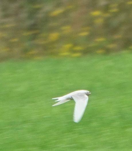 De bijzondere witte zwaluw van Gammelke
