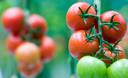 In de kas bij Tomatoworld worden diverse soorten en kleuren tomaten gekweekt.