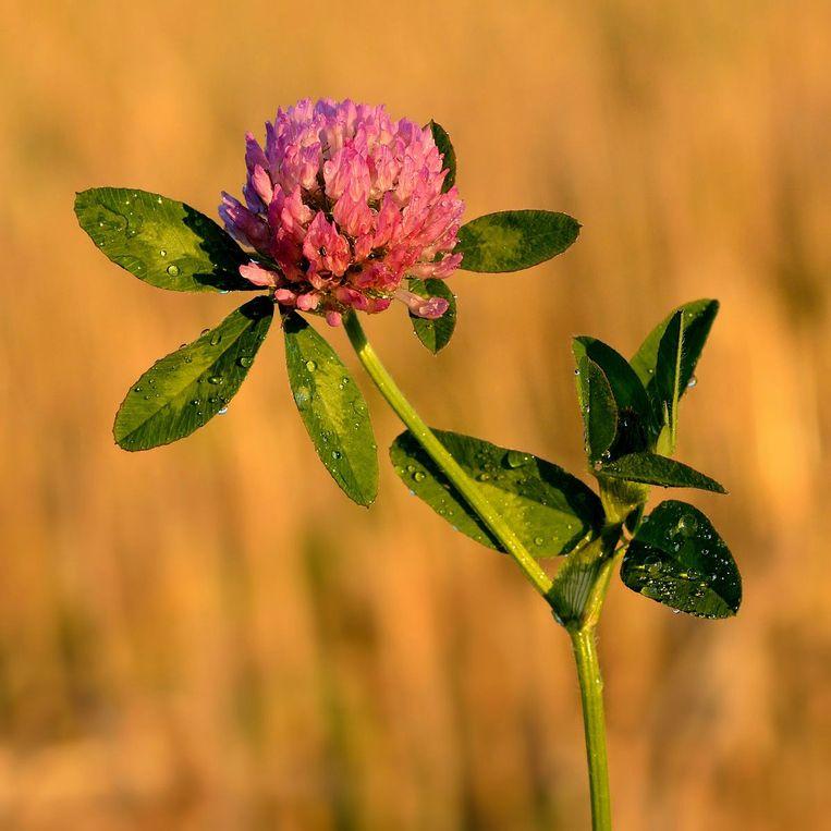 Bijen hebben bloemen nodig. Beeld