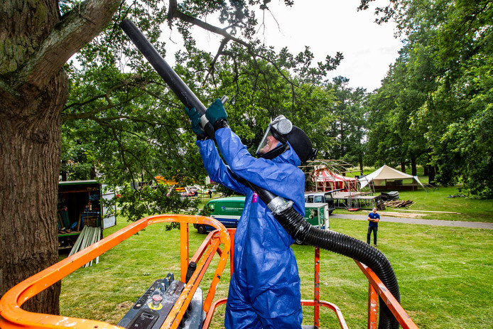 Een medewerker van een groenbedrijf verwijdert eikenprocessierupsen in Deventer in de aanloop naar festival Deventer op Stelten.