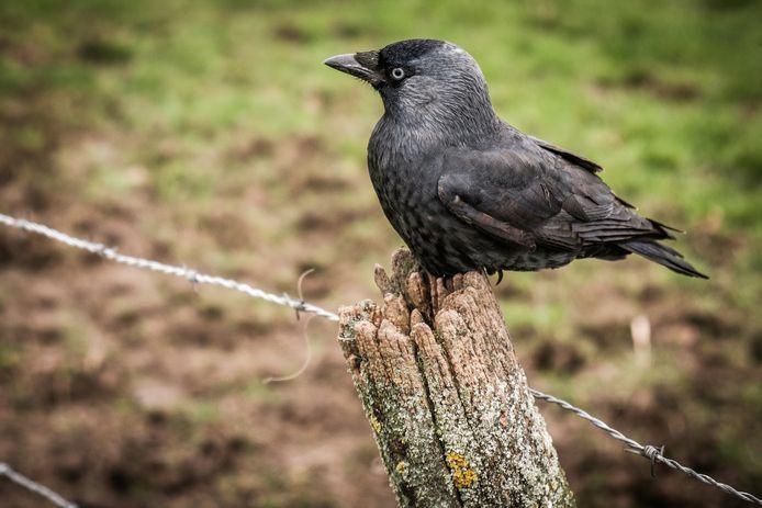 De kauw is een luidruchtige, gedrongen vogel, zwart met een grijs achterhoofd.