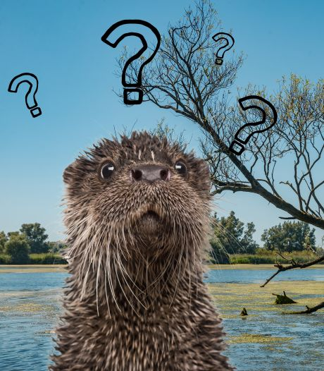 De otter is bezig aan een opmars, bereikt hij dit jaar ein-de-lijk de Biesbosch?
