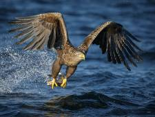 Zeearend uit Biesbosch dood door botsing met Duitse windturbine