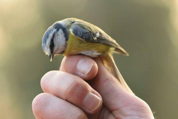 Een vogeltje dat werd gevangen om te ringen.