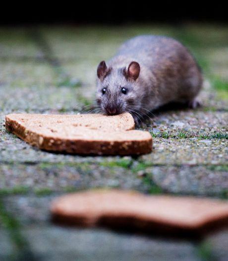 Ratten rennen door Gorinchem en soms door de achtertuin: 'Dump geen brood in de haven'