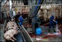 De gedode varkens worden gereed gemaakt voor verdere verwerking.