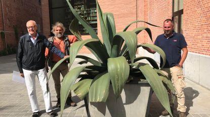 VIDEO Zestig jaar oude agave van cactusclub Aylostera krijgt zonnige plek aan Utopia